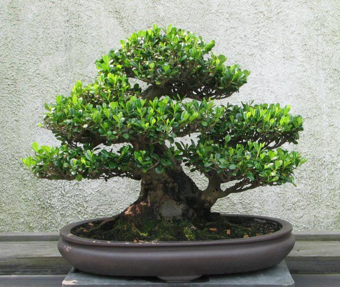 23a Exposició de bonsais ciutat de reus