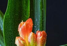Clívia (Clivia miniata Regel) per Pep Aguadé