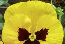 Pensament (Viola x wittrockiana) per Pep Aguadé
