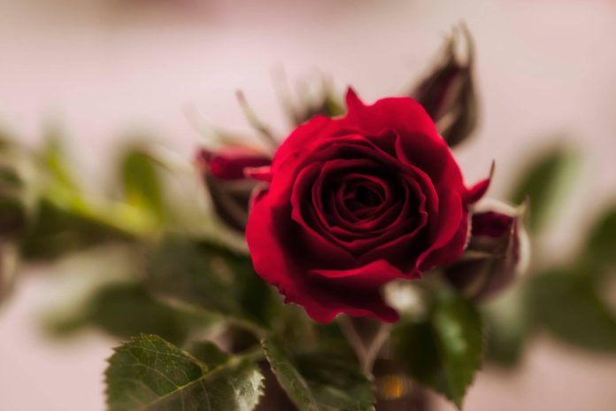 Concurs Nacional de Roses