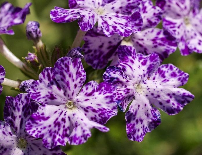 Berbena (Verbena x hybrida Voss)