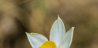 Narcís (Narcissus tazetta)