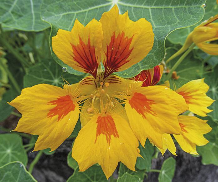 Caputxina (Tropaeolum majus)