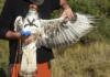 El Parc Natural de Montsant inicia un projecte de radioseguiment d'una parella d'àguila cuabarrada