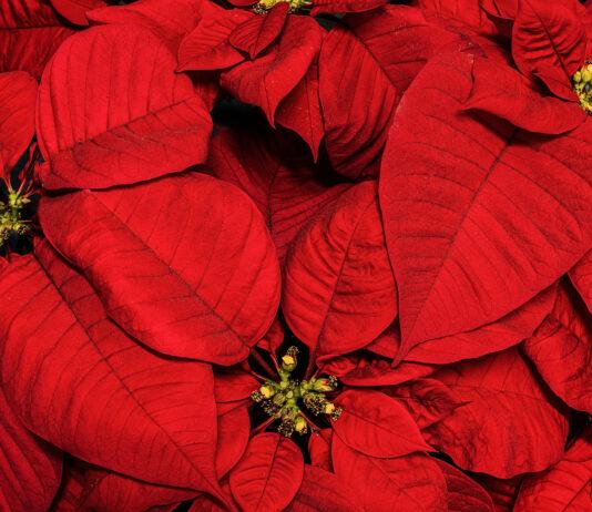 Flor de Pasqua (Planta de Nadal), per Pep Aguadé