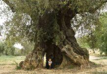 Oliveres mil·lenàries, per Ester Borràs Giol