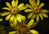 Ligulària (Farfugium japonicum), per Pep Aguadé