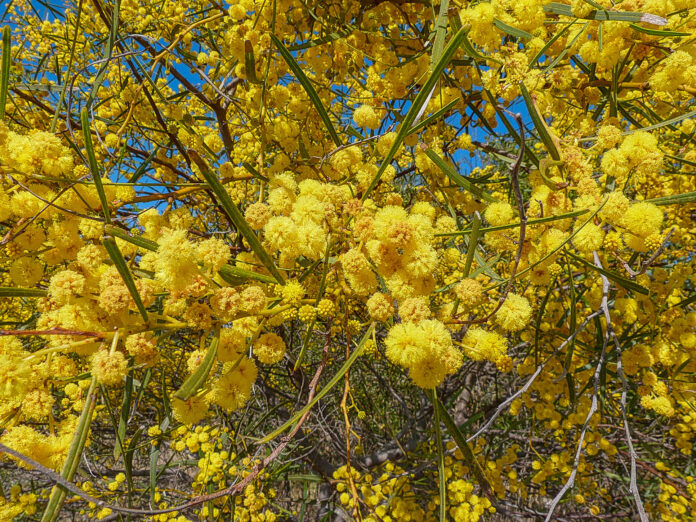 Mimosa blava (Acacia saligna), per Pep Aguadé
