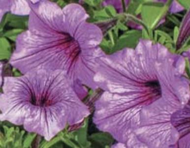 Petúnia (Petunia hybrida)