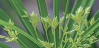 Papir. Paraigüets (Cyperus alternifolius)