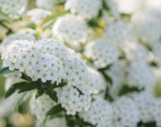 Espirea. Arbre nevat (Spiraea cantoniensis)
